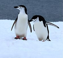 Chinstrap penguins in Antarctica, 2 by Janai-Ami