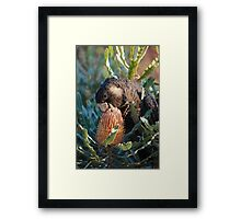 Cheeky Carnaby's feeding on banksia Framed Print