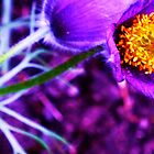 A little purple poppy by BellaRosa
