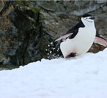 Chinstrap penguins in Antarctica,    5 by Janai-Ami