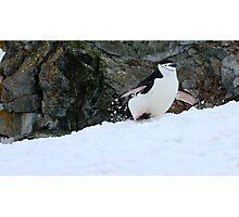 Chinstrap penguins in Antarctica,    5 Photographic Print