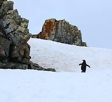Chinstrap penguins in Antarctica,    8 by Janai-Ami