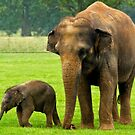 Elephant and Calf by HelenBeresford