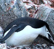 Chinstrap penguin in Antarctica,    12 by Janai-Ami