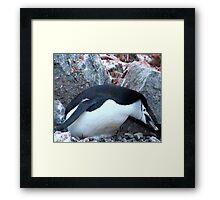 Chinstrap penguin in Antarctica,    12 Framed Print