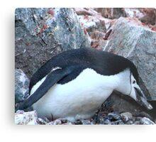 Chinstrap penguin in Antarctica,    12 Metal Print
