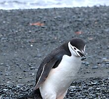 Chinstrap penguins in Antarctica,    13 by Janai-Ami