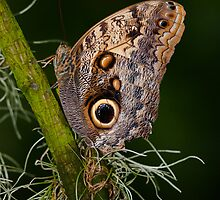 Butterfly on Branch by (Tallow) Dave  Van de Laar