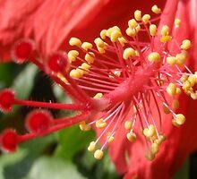 Hibiscus by Philip Alexander