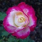 Natchez Rose 1 by Rocky Henriques