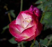 A Rose in Natchez by Rocky Henriques