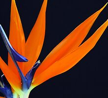 Bird of Paradise by Donna O'Connor