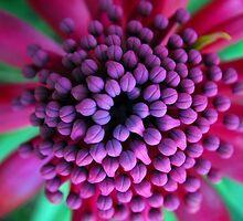 Purple Waratah by Donna O'Connor