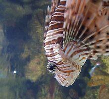 Poisonous Lionfish Sideshot by MissR