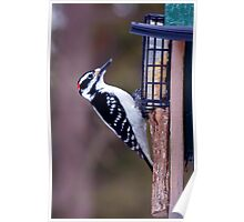 Feeding time for the hairy woodpecker Poster
