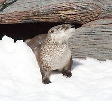 River Otter in Snow by Harry Hoover