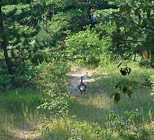 Wild Turkeys by bluefield