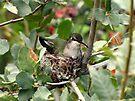 Costa's Hummingbird ~ Female; Nesting by Kimberly Chadwick