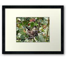 Costa's Hummingbird ~ Female; Nesting Framed Print