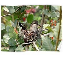 Costa's Hummingbird ~ Female; Nesting Poster