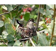 Costa's Hummingbird ~ Female; Nesting Photographic Print