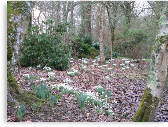 Snowdrops at Ballymaloe Woodland,Co Cork. by Pat Duggan