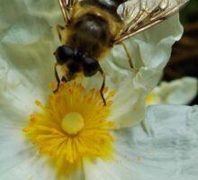 Bee on Cistus Flower Sticker