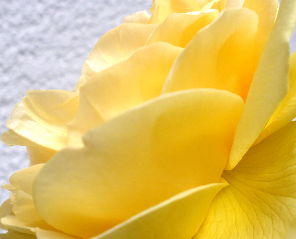 Yellow Petal Rose by marinar