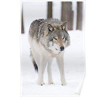 Lone Timberwolf Poster