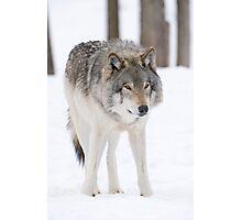 Lone Timberwolf Photographic Print