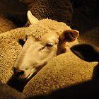 Golden fleece by Laura Mitchell