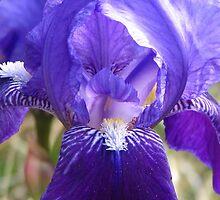 Iris by Bill Hendricks