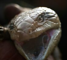 Blue Tongue lizard   by Joy Watson