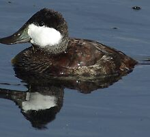 Ruddy Duck by PatGoltz