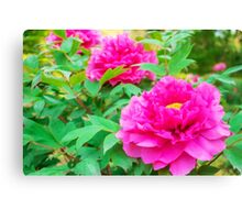 Red flowers of Peony Canvas Print