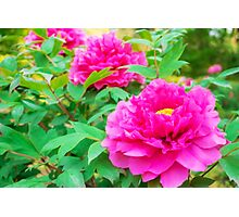 Red flowers of Peony Photographic Print
