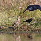 Whistling Kite vs Crows by byronbackyard