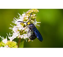 Native Wasp on Basil Flowers Photographic Print