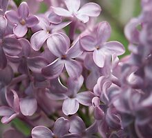Lilac by Tiffany Dryburgh