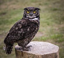 The Stare of A Great Horned Owl by Marie  Cardona