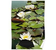 Nymphaea Candida in watercolour Poster