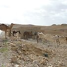 Camels on the Road by dimpdhab