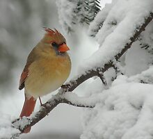 Female Cardinal in Snow by Michael Mill