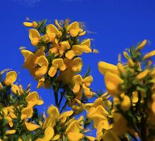 Gorse in Springtime as pseudo oil painting by Sue Leonard
