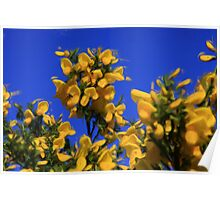 Gorse in Springtime as pseudo oil painting Poster