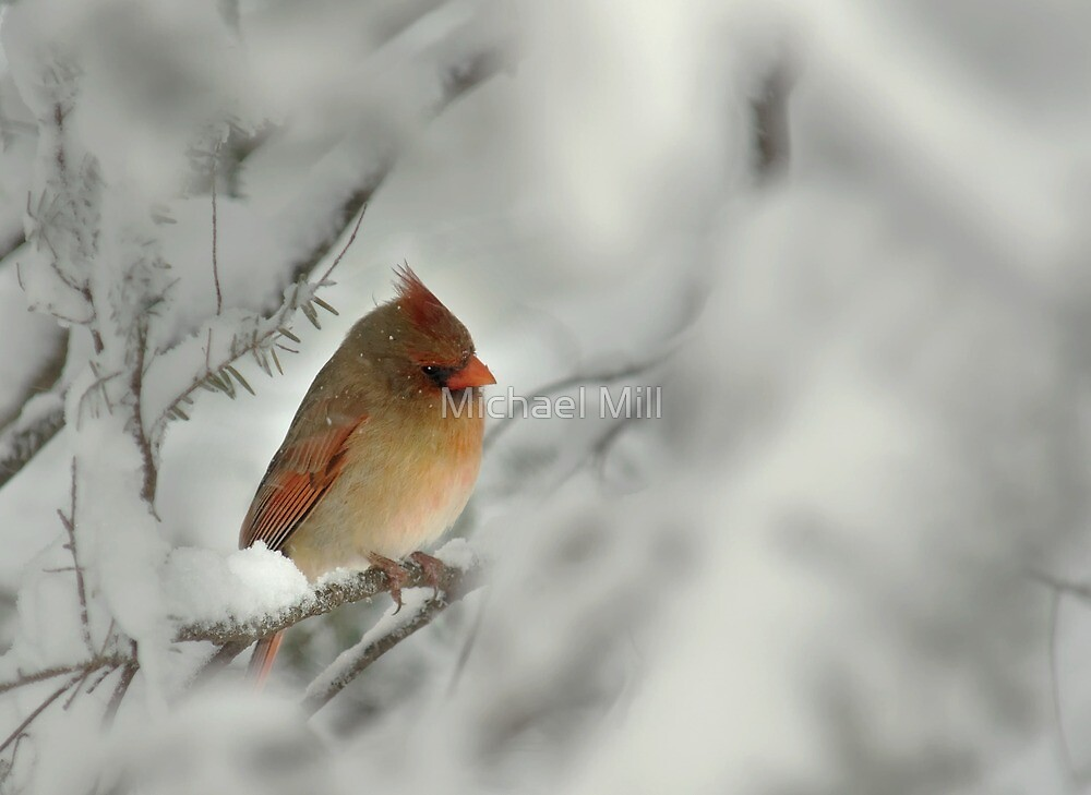 Female Cardinal in Winter Snow by Michael Mill