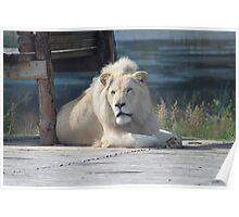 White lion Poster