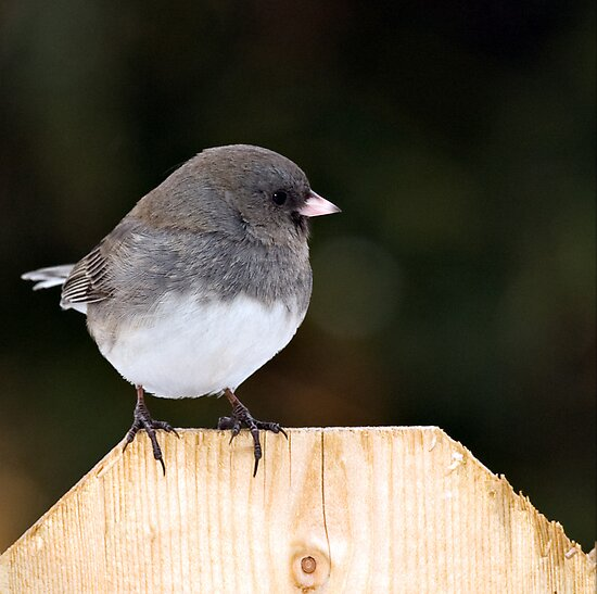 Junco by Yannik Hay