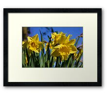 Daffodils in Spring time as pseudo oil painting Framed Print