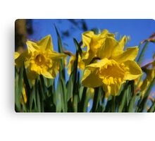 Daffodils in Spring time as pseudo oil painting Canvas Print